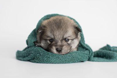 puppy186 week3 BowTiePomsky.com Bowtie Pomsky Puppy For Sale Husky Pomeranian Mini Dog Spokane WA Breeder Blue Eyes Pomskies Celebrity Puppy web5