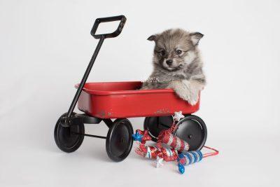 puppy186 week5 BowTiePomsky.com Bowtie Pomsky Puppy For Sale Husky Pomeranian Mini Dog Spokane WA Breeder Blue Eyes Pomskies Celebrity Puppy web4