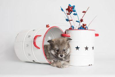 puppy186 week5 BowTiePomsky.com Bowtie Pomsky Puppy For Sale Husky Pomeranian Mini Dog Spokane WA Breeder Blue Eyes Pomskies Celebrity Puppy web5