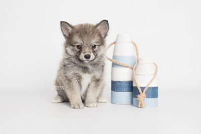 puppy186 week7 BowTiePomsky.com Bowtie Pomsky Puppy For Sale Husky Pomeranian Mini Dog Spokane WA Breeder Blue Eyes Pomskies Celebrity Puppy web3