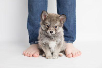 puppy186 week7 BowTiePomsky.com Bowtie Pomsky Puppy For Sale Husky Pomeranian Mini Dog Spokane WA Breeder Blue Eyes Pomskies Celebrity Puppy web7