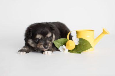 puppy187 week3 BowTiePomsky.com Bowtie Pomsky Puppy For Sale Husky Pomeranian Mini Dog Spokane WA Breeder Blue Eyes Pomskies Celebrity Puppy web3