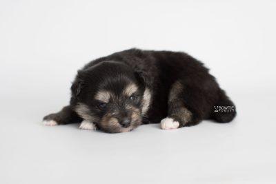 puppy187 week3 BowTiePomsky.com Bowtie Pomsky Puppy For Sale Husky Pomeranian Mini Dog Spokane WA Breeder Blue Eyes Pomskies Celebrity Puppy web6