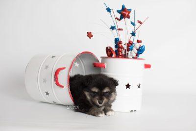puppy187 week5 BowTiePomsky.com Bowtie Pomsky Puppy For Sale Husky Pomeranian Mini Dog Spokane WA Breeder Blue Eyes Pomskies Celebrity Puppy web5
