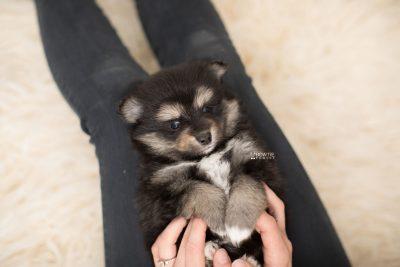puppy187 week5 BowTiePomsky.com Bowtie Pomsky Puppy For Sale Husky Pomeranian Mini Dog Spokane WA Breeder Blue Eyes Pomskies Celebrity Puppy web7
