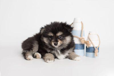 puppy187 week7 BowTiePomsky.com Bowtie Pomsky Puppy For Sale Husky Pomeranian Mini Dog Spokane WA Breeder Blue Eyes Pomskies Celebrity Puppy web2