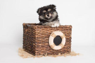puppy187 week7 BowTiePomsky.com Bowtie Pomsky Puppy For Sale Husky Pomeranian Mini Dog Spokane WA Breeder Blue Eyes Pomskies Celebrity Puppy web5
