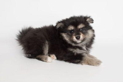 puppy187 week7 BowTiePomsky.com Bowtie Pomsky Puppy For Sale Husky Pomeranian Mini Dog Spokane WA Breeder Blue Eyes Pomskies Celebrity Puppy web7
