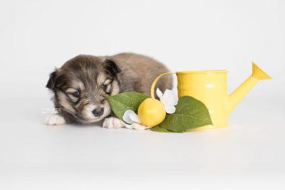 puppy189 week3 BowTiePomsky.com Bowtie Pomsky Puppy For Sale Husky Pomeranian Mini Dog Spokane WA Breeder Blue Eyes Pomskies Celebrity Puppy web3