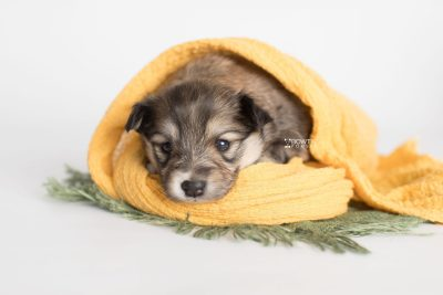 puppy189 week3 BowTiePomsky.com Bowtie Pomsky Puppy For Sale Husky Pomeranian Mini Dog Spokane WA Breeder Blue Eyes Pomskies Celebrity Puppy web5