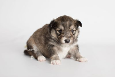 puppy189 week3 BowTiePomsky.com Bowtie Pomsky Puppy For Sale Husky Pomeranian Mini Dog Spokane WA Breeder Blue Eyes Pomskies Celebrity Puppy web6