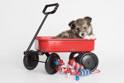 puppy189 week5 BowTiePomsky.com Bowtie Pomsky Puppy For Sale Husky Pomeranian Mini Dog Spokane WA Breeder Blue Eyes Pomskies Celebrity Puppy web4