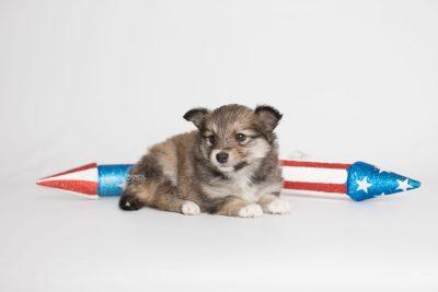 puppy189 week5 BowTiePomsky.com Bowtie Pomsky Puppy For Sale Husky Pomeranian Mini Dog Spokane WA Breeder Blue Eyes Pomskies Celebrity Puppy web5