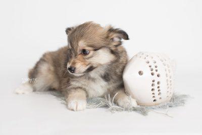 puppy189 week7 BowTiePomsky.com Bowtie Pomsky Puppy For Sale Husky Pomeranian Mini Dog Spokane WA Breeder Blue Eyes Pomskies Celebrity Puppy web5