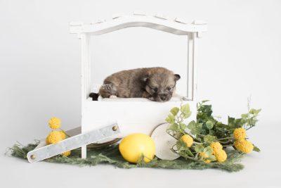 puppy190 week3 BowTiePomsky.com Bowtie Pomsky Puppy For Sale Husky Pomeranian Mini Dog Spokane WA Breeder Blue Eyes Pomskies Celebrity Puppy web1