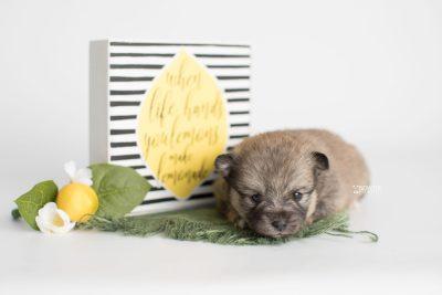 puppy190 week3 BowTiePomsky.com Bowtie Pomsky Puppy For Sale Husky Pomeranian Mini Dog Spokane WA Breeder Blue Eyes Pomskies Celebrity Puppy web5