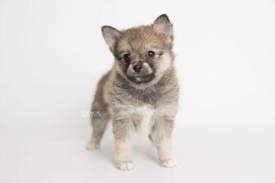 puppy190 week7 BowTiePomsky.com Bowtie Pomsky Puppy For Sale Husky Pomeranian Mini Dog Spokane WA Breeder Blue Eyes Pomskies Celebrity Puppy web6