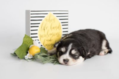 puppy191 week3 BowTiePomsky.com Bowtie Pomsky Puppy For Sale Husky Pomeranian Mini Dog Spokane WA Breeder Blue Eyes Pomskies Celebrity Puppy web6