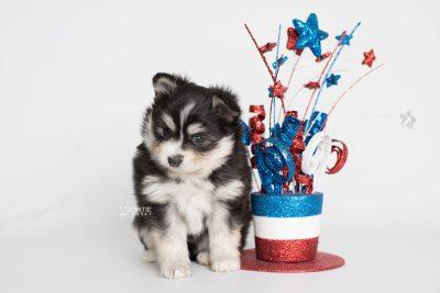 puppy191 week5 BowTiePomsky.com Bowtie Pomsky Puppy For Sale Husky Pomeranian Mini Dog Spokane WA Breeder Blue Eyes Pomskies Celebrity Puppy web3