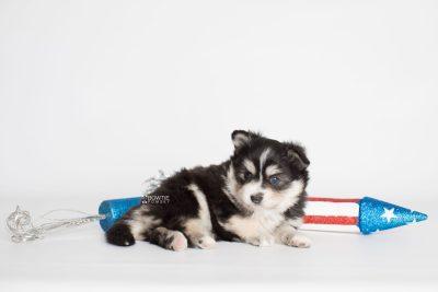 puppy191 week5 BowTiePomsky.com Bowtie Pomsky Puppy For Sale Husky Pomeranian Mini Dog Spokane WA Breeder Blue Eyes Pomskies Celebrity Puppy web7