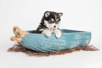puppy191 week7 BowTiePomsky.com Bowtie Pomsky Puppy For Sale Husky Pomeranian Mini Dog Spokane WA Breeder Blue Eyes Pomskies Celebrity Puppy web1