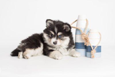 puppy191 week7 BowTiePomsky.com Bowtie Pomsky Puppy For Sale Husky Pomeranian Mini Dog Spokane WA Breeder Blue Eyes Pomskies Celebrity Puppy web2