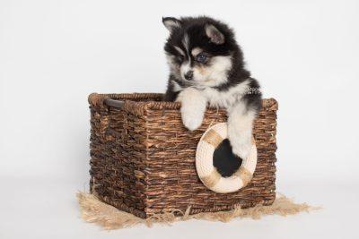 puppy191 week7 BowTiePomsky.com Bowtie Pomsky Puppy For Sale Husky Pomeranian Mini Dog Spokane WA Breeder Blue Eyes Pomskies Celebrity Puppy web6