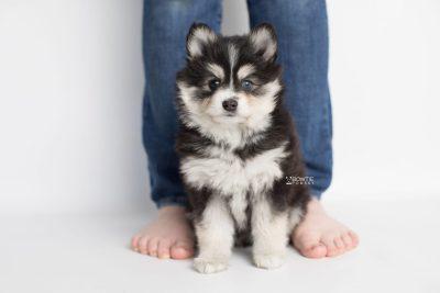 puppy191 week7 BowTiePomsky.com Bowtie Pomsky Puppy For Sale Husky Pomeranian Mini Dog Spokane WA Breeder Blue Eyes Pomskies Celebrity Puppy web8