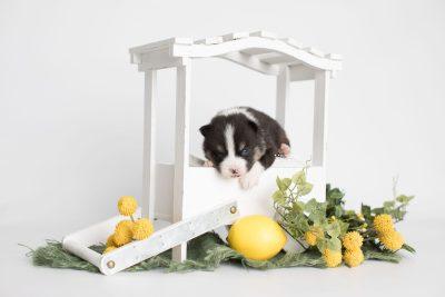 puppy193 week3 BowTiePomsky.com Bowtie Pomsky Puppy For Sale Husky Pomeranian Mini Dog Spokane WA Breeder Blue Eyes Pomskies Celebrity Puppy web1