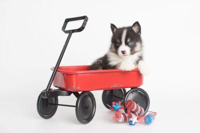 puppy193 week5 BowTiePomsky.com Bowtie Pomsky Puppy For Sale Husky Pomeranian Mini Dog Spokane WA Breeder Blue Eyes Pomskies Celebrity Puppy web2