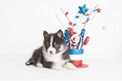 puppy193 week5 BowTiePomsky.com Bowtie Pomsky Puppy For Sale Husky Pomeranian Mini Dog Spokane WA Breeder Blue Eyes Pomskies Celebrity Puppy web3