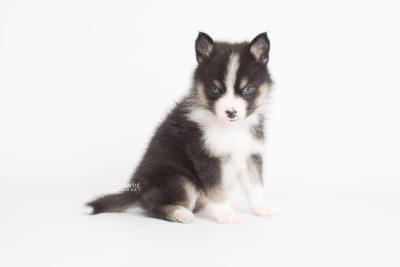 puppy193 week5 BowTiePomsky.com Bowtie Pomsky Puppy For Sale Husky Pomeranian Mini Dog Spokane WA Breeder Blue Eyes Pomskies Celebrity Puppy web8