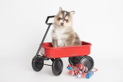 puppy194 week5 BowTiePomsky.com Bowtie Pomsky Puppy For Sale Husky Pomeranian Mini Dog Spokane WA Breeder Blue Eyes Pomskies Celebrity Puppy web3