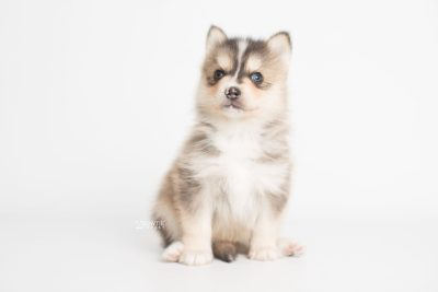 puppy194 week5 BowTiePomsky.com Bowtie Pomsky Puppy For Sale Husky Pomeranian Mini Dog Spokane WA Breeder Blue Eyes Pomskies Celebrity Puppy web5