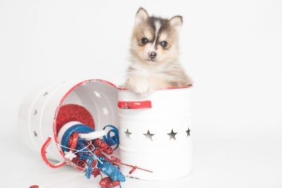 puppy194 week5 BowTiePomsky.com Bowtie Pomsky Puppy For Sale Husky Pomeranian Mini Dog Spokane WA Breeder Blue Eyes Pomskies Celebrity Puppy web7