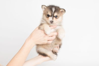 puppy194 week5 BowTiePomsky.com Bowtie Pomsky Puppy For Sale Husky Pomeranian Mini Dog Spokane WA Breeder Blue Eyes Pomskies Celebrity Puppy web8
