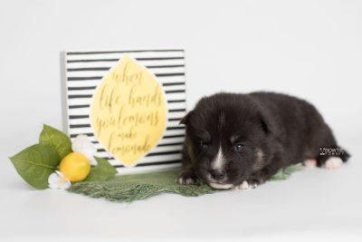 puppy195 week3 BowTiePomsky.com Bowtie Pomsky Puppy For Sale Husky Pomeranian Mini Dog Spokane WA Breeder Blue Eyes Pomskies Celebrity Puppy web5