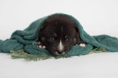 puppy195 week3 BowTiePomsky.com Bowtie Pomsky Puppy For Sale Husky Pomeranian Mini Dog Spokane WA Breeder Blue Eyes Pomskies Celebrity Puppy web6