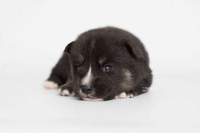 puppy195 week3 BowTiePomsky.com Bowtie Pomsky Puppy For Sale Husky Pomeranian Mini Dog Spokane WA Breeder Blue Eyes Pomskies Celebrity Puppy web7