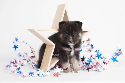 puppy195 week5 BowTiePomsky.com Bowtie Pomsky Puppy For Sale Husky Pomeranian Mini Dog Spokane WA Breeder Blue Eyes Pomskies Celebrity Puppy web1