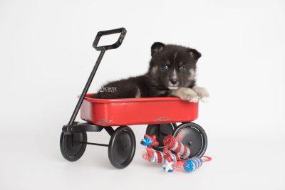 puppy195 week5 BowTiePomsky.com Bowtie Pomsky Puppy For Sale Husky Pomeranian Mini Dog Spokane WA Breeder Blue Eyes Pomskies Celebrity Puppy web2