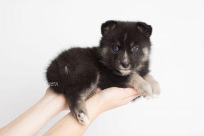 puppy195 week5 BowTiePomsky.com Bowtie Pomsky Puppy For Sale Husky Pomeranian Mini Dog Spokane WA Breeder Blue Eyes Pomskies Celebrity Puppy web8
