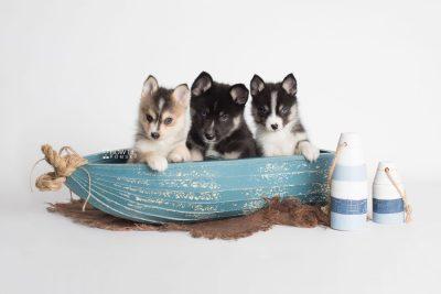 puppy193-195 week7 BowTiePomsky.com Bowtie Pomsky Puppy For Sale Husky Pomeranian Mini Dog Spokane WA Breeder Blue Eyes Pomskies Celebrity Puppy web