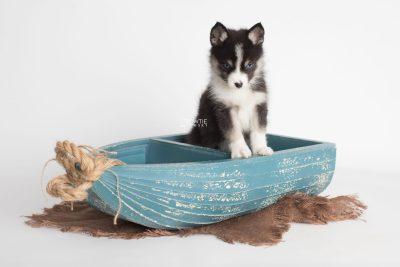 puppy193 week7 BowTiePomsky.com Bowtie Pomsky Puppy For Sale Husky Pomeranian Mini Dog Spokane WA Breeder Blue Eyes Pomskies Celebrity Puppy web2