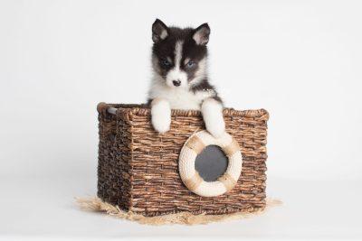 puppy193 week7 BowTiePomsky.com Bowtie Pomsky Puppy For Sale Husky Pomeranian Mini Dog Spokane WA Breeder Blue Eyes Pomskies Celebrity Puppy web4