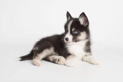 puppy193 week7 BowTiePomsky.com Bowtie Pomsky Puppy For Sale Husky Pomeranian Mini Dog Spokane WA Breeder Blue Eyes Pomskies Celebrity Puppy web6