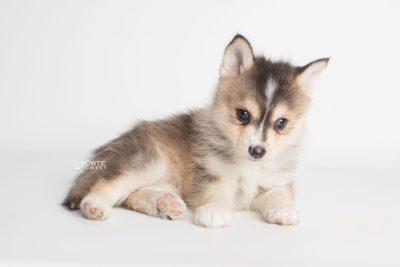 puppy194 week7 BowTiePomsky.com Bowtie Pomsky Puppy For Sale Husky Pomeranian Mini Dog Spokane WA Breeder Blue Eyes Pomskies Celebrity Puppy web5
