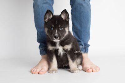 puppy195 week7 BowTiePomsky.com Bowtie Pomsky Puppy For Sale Husky Pomeranian Mini Dog Spokane WA Breeder Blue Eyes Pomskies Celebrity Puppy web1