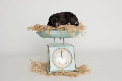 puppy196 week1 BowTiePomsky.com Bowtie Pomsky Puppy For Sale Husky Pomeranian Mini Dog Spokane WA Breeder Blue Eyes Pomskies Celebrity Puppy web2