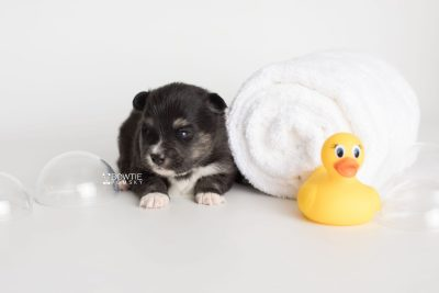 puppy196 week3 BowTiePomsky.com Bowtie Pomsky Puppy For Sale Husky Pomeranian Mini Dog Spokane WA Breeder Blue Eyes Pomskies Celebrity Puppy web5